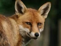 Kell-e félni a lakott területen megjelenő rókától?